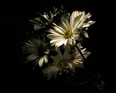 Emergence 0915 (Tjerger) Tags: nature flower flowers bloom blooms blooming plant natural blackbackground portrait beautiful beauty black green wisconsin macro closeup yellow group bunch summer dark daisydaisies florafloral emergence