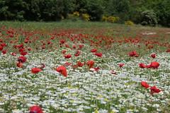 P1020121 (alainazer) Tags: esparrondeverdon provence france fiori fleurs flowers fields champs colori colors couleurs coquelicot poppy papavero