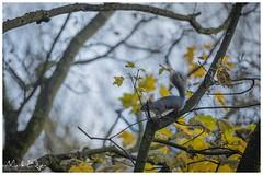 On the Lookout (Mark Edgar) Tags: northernireland belfast stormontestate autumncolours autumn goldenleaves treebranch trees greysquirrel