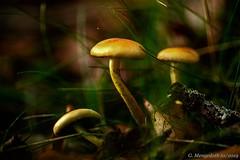 Verborgen im Gras (günter mengedoth) Tags: irix150mmf28macro pentaxk1 pentax nahaufnahme manuell bokeh pilze herbst autumn gras laub
