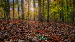 Forest Carpet (justenoughfocus) Tags: sonyalpha autumn fall foliage forest green hiking landscape landscapephotography leaves madewithluminar maryland nature park skylum sonyimages sun sunlight sunrays trees crownsville unitedstatesofamerica