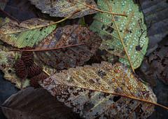 Autumn Jewelry (Ernie Misner) Tags: hammahammariver leaves river f8andlookdown hoodcanalwa erniemisner hoyahd3polarizer 70200efl lightroom nik pscc topazstudio