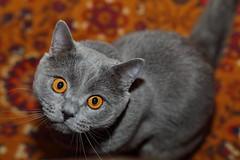 Antonio (Сonstantine) Tags: canon cat catslife catsoftheworld catscatscats cute animals british britishcat photo pic portrait meowmeow meow meowbox cats