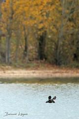 Gavia immer | Plongeon imbrin | Great Northern Diver | Colimbo Grande | Eistaucher ([ ͆ ◎] Bernard LIÉGEOIS) Tags: france nouvelleaquitaine poitoucharentes vienne vienne86 saintcyr lac lake plandeau nature oiseau bird birding birdwatch birdwatching plongeon diver ornitho ornithologie ornithology plongeonimbrin gaviaimmer juvénile juvenile automne autumn fall étirement stretching