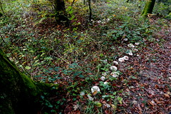 Lützeltal, Roti Flue (Marlis1) Tags: lützeltal kleinlützel marlis1 autumn forest montains trees switzerland kantonsolothurn panasonicfz1000 mushrooms fairyrings