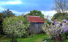 Fred's Shed at Springtime (Lani Elliott) Tags: shed fredsshed garden homegarden lanisgarden lanielliott blossoms flowers landscape view scene scenic trees fruittrees sky bluesky clouds
