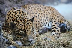 leopard (Сonstantine) Tags: catslife wildlife wildcat cat catsoftheworld leopard big bigcat animals naturepic photo pic canon