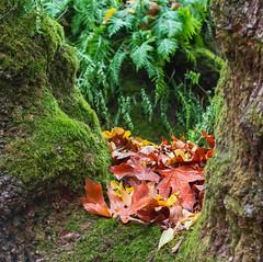 A Place to gather. (Omygodtom) Tags: scene season autumn fall leaves setting forest oaksbottom oregon fern natural nature usgs