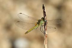 Sympetrum fonscolombii (f) (Roy Lowry) Tags: sympetrumfonscolombii redveineddarter dragonfly stjuliansbay sliema