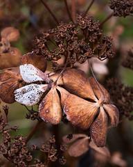 Vergänglichkeit (Naturportal) Tags: panasonic dmcgx8 olympus m60mm f28 macro makro hydrangea hortensie makrofotografie natur nature
