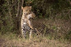 a little snack (renatecamin) Tags: rabbit lepard hunt kenia kenya afrika africa leopard wildlife cat animal