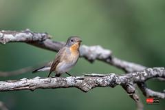 紅胸鶲 Red-breasted Flycatcher (Freedom coffee) Tags: d850 bird nikon taiwan 500mm