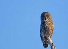Great Gray Owl...#55 (Guy Lichter Photography - 5.5M views Thank you) Tags: canon 5d3 canada manitoba wildlife animal animals bird birds owl owls greatgrayowl grey blue sky birch stare focus intense perch tree