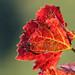 Atumn red
