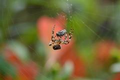 Fly Trap! (suekelly52) Tags: web spider gardenspider bokeh prey fly garden arachnid diptera