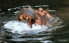 HIPPO (babsbaron ( Bella )) Tags: nature naturfotografie naturephotographie tiere tierfotografie animals animalphotographie säugetiere mammals flusspferd hippopotamus zoo tierpark animalpark erlebniszoo hannover canon eos