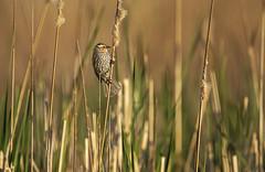 In the weeds (peakdan) Tags: nature bird animal redwingedblackbird blackbird