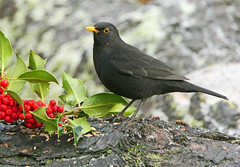 Blackbird (eric robb niven) Tags: ericrobbniven scotland blackbird male wildlife wildbird nature springwatch dundee
