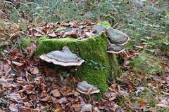 Lützeltal, Roti Flue (Marlis1) Tags: lützeltal kleinlützel marlis1 autumn forest montains trees switzerland kantonsolothurn panasonicfz1000 mushrooms fungi pilze