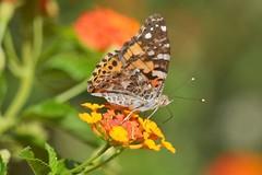 Vanessa cardui posada en lantana (En memoria de Zarpazos, mi valiente y mimoso tigre) Tags: butterfly mariposa farfalla vanessacardui lantana flor fiore flower macro