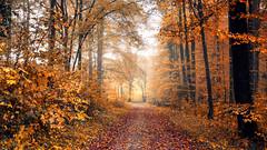 Goldener Herbstwald (Chrisgraphy) Tags: wald lörrach herbst autumn forest