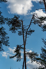 Unser Wald  (8) (berndtolksdorf1) Tags: deutschland thüringen wald bäume trees kiefern himmel wolken sky outdoor