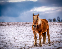 "Horse on a snowy day (JuanJ) Tags: nikon d850 lightroom art bokeh lens light landscape happy naturephotography outside nature people white green red black pink skyportrait location architecture building city square squareformat instagramapp shot awesome supershot beauty cute new flickr amazing photo photograph fav favorite favs picture me explore interestingness friends dof sunset sky flower night tree flowers portrait fineart sun clouds horse equine horses kentucky kentuckyhorsepark snow farm greatphotographers nikonfxshowcase ""nikon fx showcase"""