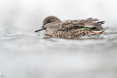''Touche de vert!'' sarvelle d'hiver-Green-winged teal (pascaleforest) Tags: canada quebec faune wildlife wild animal bird oiseau