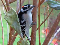 Morning Visitor (kfocean01) Tags: autumn fall bird birds nature woodpecker animal wildlife painting paint create photoshop photomanipulation creativity awardtree