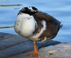 Domestic Mallard, Anas platyrhynchos domesticus (Dave Beaudette) Tags: birds domesticmallard anasplatyrhynchosdomesticus magpieduck reidpark tucson pimacounty arizona