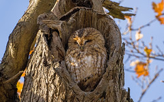 Tawny Owl (debsiep1) Tags: tawny owl bird prey suffolk