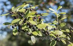 www.dontkillmyweeds.com (Judy Darby) Tags: louisiana usa madisonville gallberry ilex glabra black berries holly species flatwood forest shrub wetland ecology fall foliage autumn native