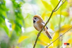 黃羽鸚嘴 Golden Parrotbill (Freedom coffee) Tags: bird nikon taiwan d850 500mm