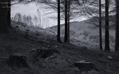 The End of Monoculture (ShinyPhotoScotland) Tags: camera trees light people blackandwhite art industry nature monochrome lines composite composition manipulated lens landscape photography cool flora emotion dusk forestry decay framed politics thoughtful angles calm structure equipment zen conflict balance wabisabi projects melancholy stark distance relaxed toned contrasts tranquil hdr antisocial softlight conifer shapely oldnew repeating monoculture transience disagreement digikam goodbad regularity skyearth shapeandform dulllight rawconversion rightwrong intimatelandscape enfuse anthropocene rawtherapee naturehappens calmstill anenvironment nastynice ecologyenvironmentinteraction mankindnature sonya7r3 sony24105f4g pixelmatorphoto