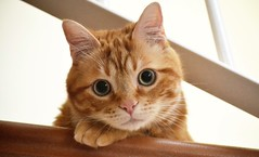 Spritz ♥ (En memoria de Zarpazos, mi valiente y mimoso tigre) Tags: cat gatto gato ginger orange tabby greeneyes portraitcat face bigeyes closeup kitten cc100