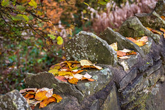 SJX_0574 - Leaves in pockets (SWJuk) Tags: swjuk uk unitedkingdom gb britain england lancashire burnley home canal towpath wall stonebuilt leaves foliage 2019 nov2019 autumn autumnal autumncolours nikon d7200 nikond7200 18140mm rawnef lightroomclassiccc