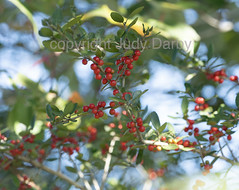 www.dontkillmyweeds.com (Judy Darby) Tags: louisiana usa madisonville holly yaupon ilex vomitoria red berries green shrub flatwood forest ecology native invasive fall colors autumn foliage