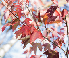 www.dontkillmyweeds.com (Judy Darby) Tags: louisiana usa madisonville red maple acer rubrum nature tree native ecology flatwood forest fall colors autumn foliage