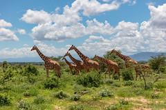 "A League of Their Own 8429 (Dr DAD (Daniel A D'Auria MD)) Tags: giraffe mammal animal wildlife africa tall ""longneck"" ""animalsofafrica"" ""tanzania"" ""giraffesoftanzania"" ""wildlifephotography"" ""nature'sbest"" ""drdadbooks"" drdadbooks"" ""children'swildlifebooksbydanielad'auriamd"" ""danielad'auriamd"" ""2013"" kenya samburu ""samburunationalreserve"" ""november2019"""