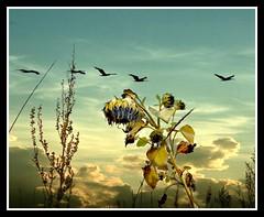 Sunflowered (patrick.verstappen) Tags: nikon d5100 sigma winter acryl medium art belgium gingelom patrick verstappen google ipernity ipiccy image photo picassa pinterest pat painting blume strukturiert gemälde kunst seelandschaft fleur jardin texturé peinture paysage marin texture textured twitter facebook fantasy flor texturado pintura marina цветок сад stormy autumn drawing imagine inspiration inspirational zen coast smile xxx barbie cumulus clouds cloudy pigeons textura landschape wheat fields coolpix bélgica balance birds sunflower bloomed colored