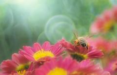 All-you-can-eat🐝 (Tomo M) Tags: bee insect bug flower light bokeh blur autumn bubblebokeh trioplan closeup