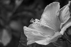 Hibiscus in black and white (juanita nicholson) Tags: hibiscus flower petals leaves stamen bokeh closeup macro nature outdoors pollen anthers blackandwhite bw