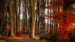 20112019-DSC_0009 (vidjanma) Tags: hêtres hêtraie automne forêt