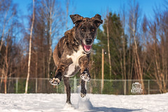 Picture of the Day (Keshet Kennels & Rescue) Tags: adoption dog dogs canine ottawa ontario canada keshet breed animal animals kennel rescue pet pets nature photography snow winter great dane mix happy wild run juke deke field smile