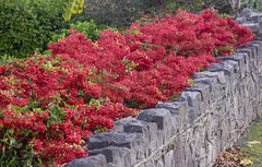 Berries (rhianwhit) Tags: wall berries berry autumn red stone