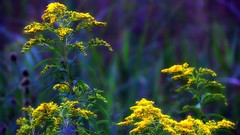 Yellow ...... (Bob's Digital Eye 2) Tags: canon canonefs55250mmf456isstm flowers flora wildflowers flicker flickr bobsdigitaleye2 yellow