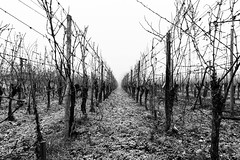 2019-365-324  #nikonpassion365 (bebopeloula) Tags: nikonpassion365 photorobertcrosnier 2019 365 alsace europe france hautrhin nikond700 brume culture givre noiretblanc vigne