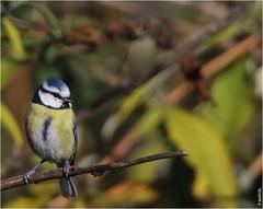 Mésange bleue (boblecram) Tags: cyanistes caeruleus mésange paridé passereau oiseau bird