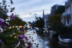 Color in a grey day (mchurruca) Tags: blue flower channel amsterdam color grey day twilight dandillion pink