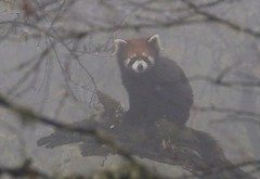 Red Panda (Ailurus fulgens) sitting on mossy tree trunk in thick cloud (Paul Cottis) Tags: panda red paulcottis 4 november 2019 china sechuan labahe mist low cloud mountain lesser bearcat catbear ailuridae mustelid fog cute face